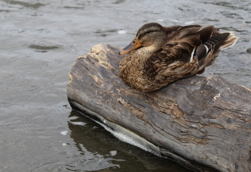 A duck sits on a log at Falls Park.