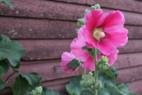 Hollyhock open for the last days of summer.